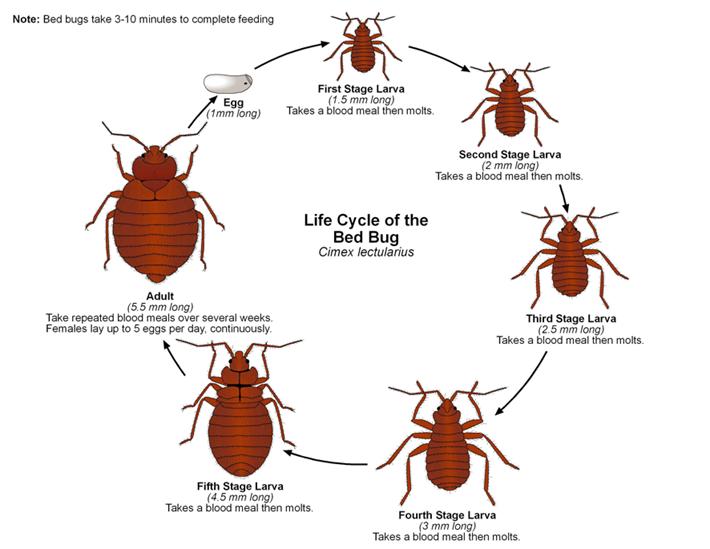 Parliamo di cimice dei letti asl cn2 - Punture di insetti nel letto ...